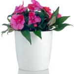 Beautiful pink impatiens flowers